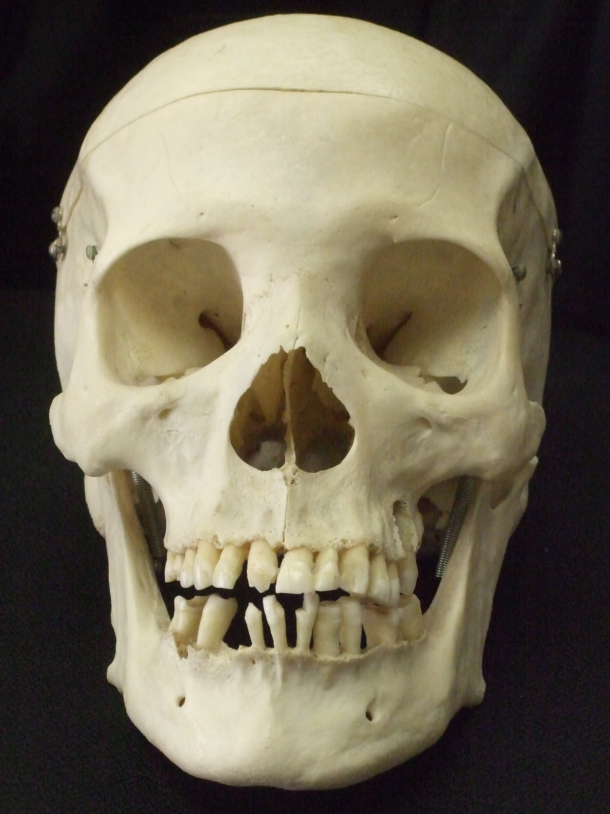 The gallery for --> Real Human Skull Front View